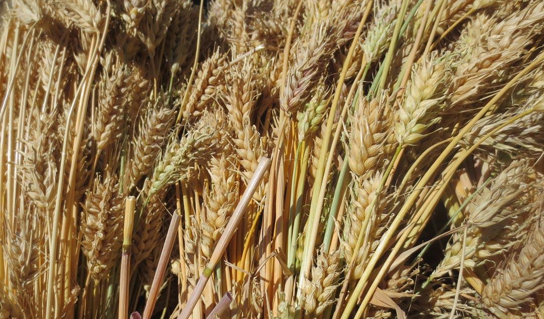Laxmi-Lama-Naked-barley