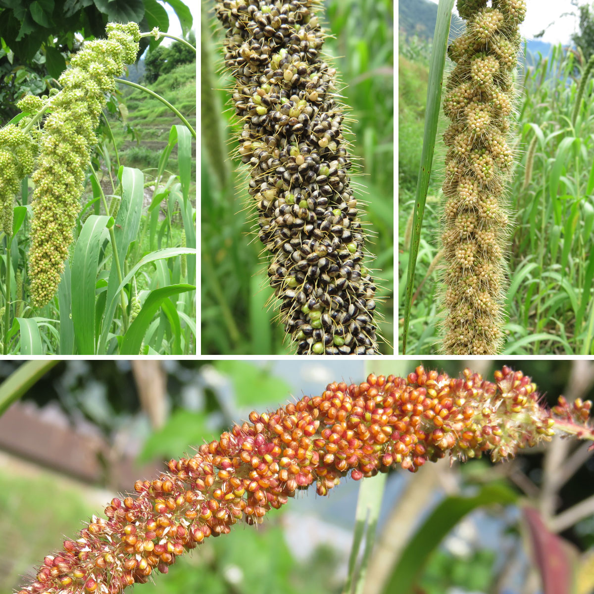 Bariyo kaguno (top left), kalo kaguno (top centre), seto kaguno (right) and rato kaguno (bottom) are the four varieties of foxtail millet found in ...